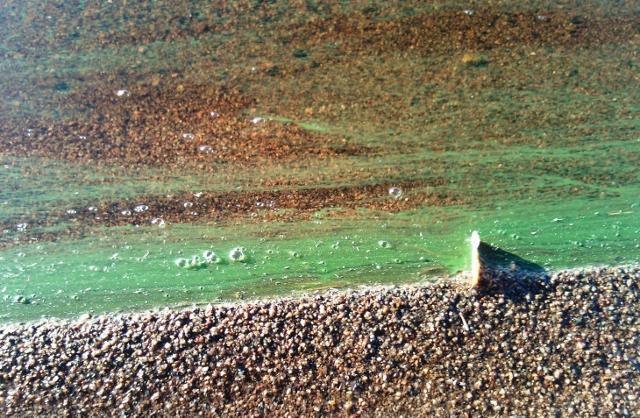 Sinileväviiru rantavedessä