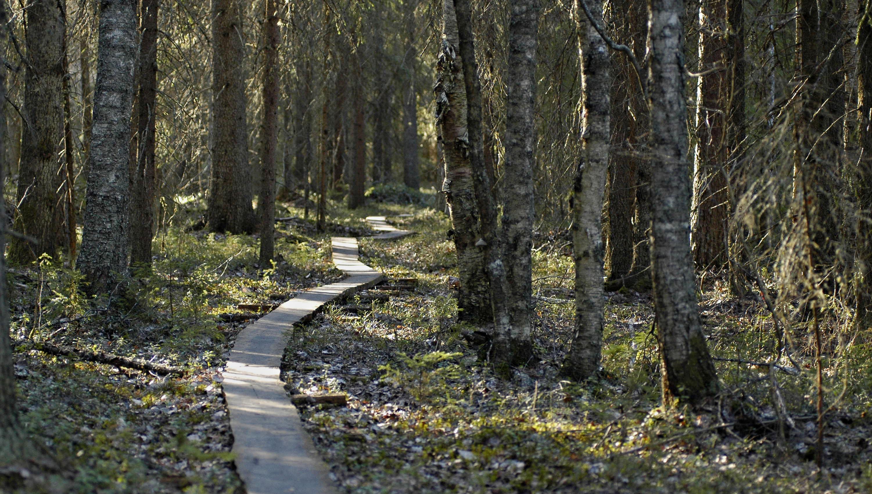Pitkospuupolku aurinkoisessa metsässä.