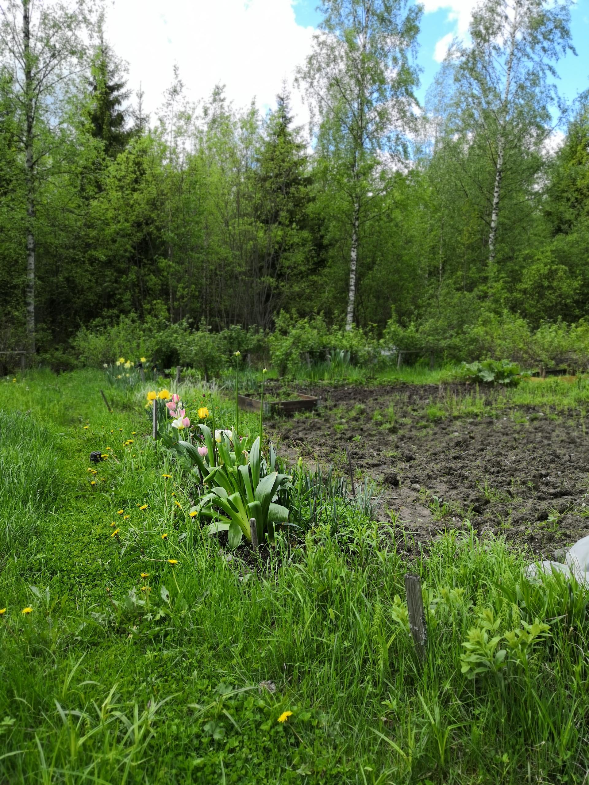 Tulppaaneja ja marjapensaita puutarhapalstalla.