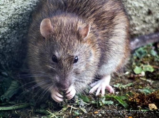 Rotta syö etukäpäliensä välissä olevaa ruokaa.