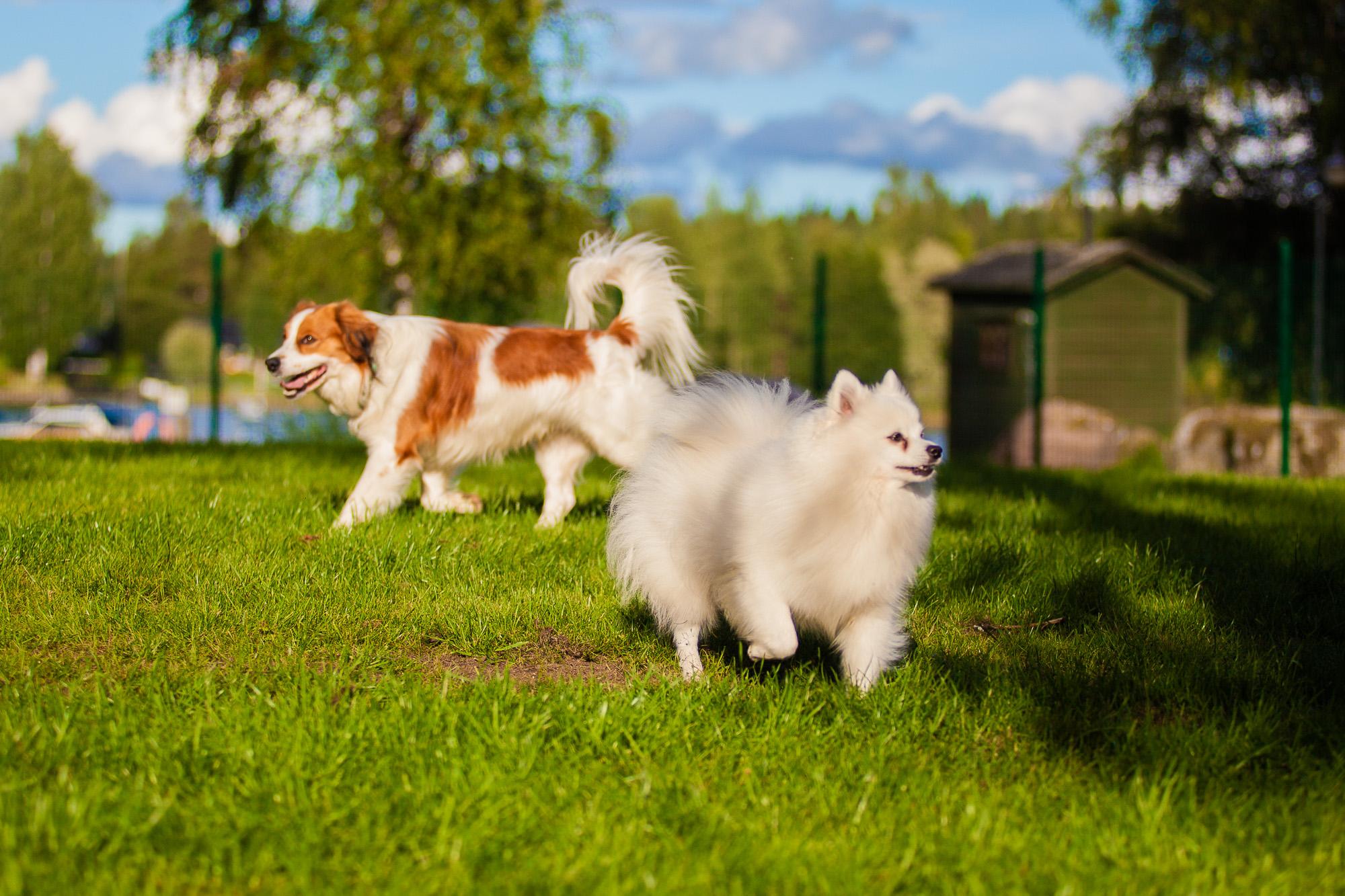 Koiria koirapuistossa